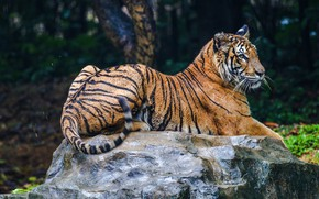 Picture nature, tiger, the dark background, stone, lies