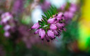 Picture macro, flowers, background, blur, spring, pink, Heather
