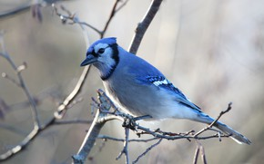 Picture branches, background, bird, blue, blue Jay, Jay