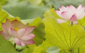 Picture leaves, nature, petals, Lotus