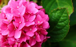 Picture Nature, Flower, Pink, hydrangea, Flora