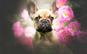 Picture look, face, flowers, portrait, roses, dog, French bulldog