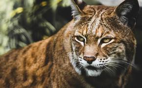 Picture look, predator, lynx