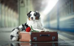Picture flower, rose, dog, the platform, suitcase, Australian shepherd, Aussie, Svetlana Pisareva