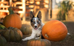 Picture autumn, language, look, light, dog, harvest, hay, pumpkin, lies, straw, boxes, face, the border collie