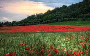 Picture field, forest, summer, flowers, castle, Maki, meadow, red, poppy field