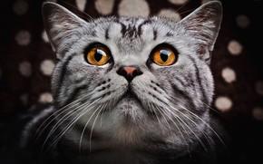 Picture cat, eyes, cat, face, close-up, the dark background, grey, portrait, striped, British, British, Scottish, Golden …
