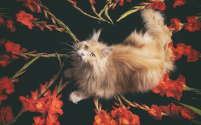 Picture cat, red, Maine Coon, gladiolus