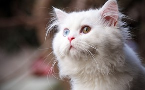 Picture cat, white, different eyes
