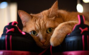 Picture cat, cat, look, face, shoes, portrait, red, sneakers