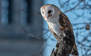 Picture branches, owl, bird, Common barn owl