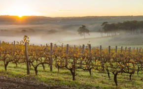 Picture autumn, fog, morning, Australia, vineyard