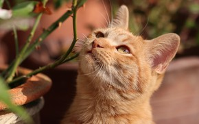 Picture cat, cat, look, face, branches, portrait, red, spikes, blurred background, looking up