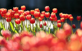 Picture the sun, flowers, tulips, red, bokeh
