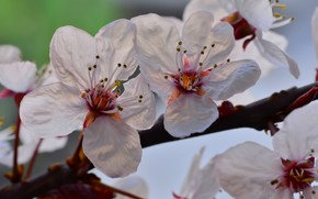 Picture macro, cherry, branch, spring, petals, flowering, flowers