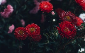 Picture leaves, flowers, the dark background, Bush, garden, red, autumn, asters, Terry