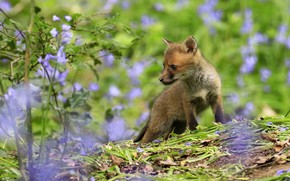 Picture greens, summer, look, leaves, flowers, nature, pose, baby, Fox, walk, bells, lilac, Fox, Fox