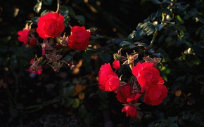 Picture leaves, branches, the dark background, roses, garden, red, al, roses, rose Bush