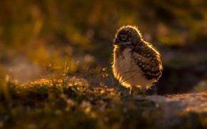 Picture nature, bird, Young Burrowing owl, Athene cunicularia