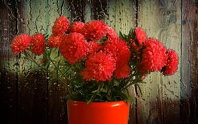 Picture flowers, rain, bouquet, Asters