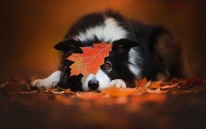 Picture autumn, leaf, dog, the border collie