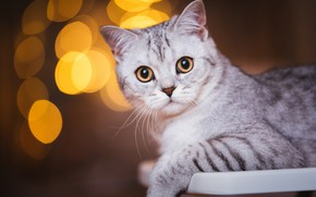 Picture cat, cat, look, face, the dark background, portrait, grey, striped, bokeh, British