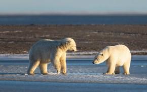 Picture winter, white, light, snow, nature, pose, shore, bear, bears, pair, polar bear, two, polar bears, …