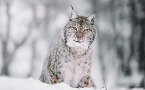 Picture winter, forest, look, face, snow, nature, pose, the snow, lynx, sitting, bokeh