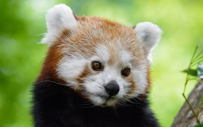 Picture look, face, close-up, green, background, portrait, Panda, red, red Panda, red Panda, charming