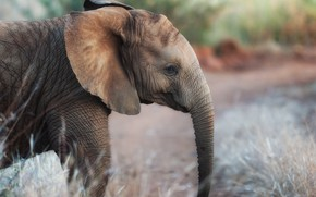 Picture elephant, trunk, bokeh, elephant