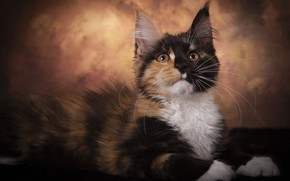 Picture cat, look, pose, the dark background, kitty, muzzle, lies, fur, spotted, Maine Coon, looking up, …