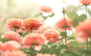 Picture orange, roses, Bud