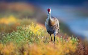 Picture nature, bird, Grus canadensis, Sandhill crane