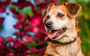 Picture face, dog, collar, bokeh