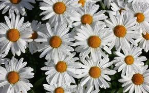 Wallpaper drops, flowers, chamomile