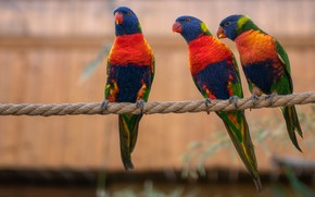 Picture birds, background, bright, rope, parrot, rope, three, parrots, trio, Lori, three birds, three parrots