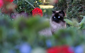 Picture cat, summer, eyes, cat, flowers, plants, garden, blue, muzzle, beauty, blurry, fluffy, Siamese, color-point, ragdoll