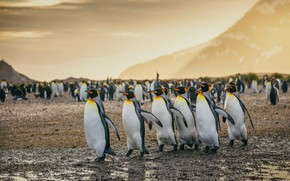 Picture mountains, birds, pack, penguins