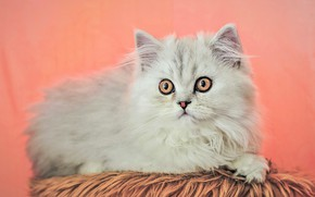 Picture cat, white, look, kitty, lies, pink background, Persian