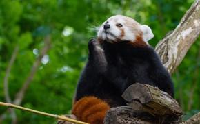 Picture look, face, pose, background, tree, foliage, paw, bamboo, red Panda, sitting, bokeh, red Panda, thinker