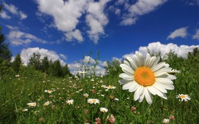 Picture the sky, grass, flowers, Daisy, meadow