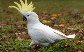 Picture parrot, crest, steps, Fleur Walton, white parrot