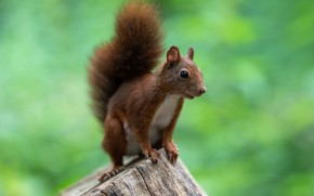Picture nature, pose, stump, protein, green background, rodent