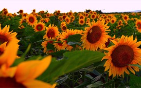 Picture Field, Sunflowers, Field, Sunflowers