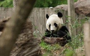 Picture face, leaves, nature, pose, the fence, bear, Panda, log, sitting, zoo