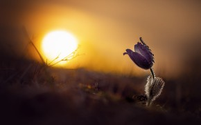 Picture flower, the sun, drops, light, sunset, lilac, dawn, spring, cross