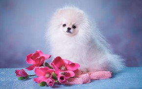 Picture white, look, flowers, pose, background, blue, portrait, dog, bouquet, fluffy, muzzle, puppy, fabric, pink, sitting, …