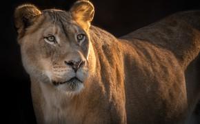 Picture predator, beauty, lioness