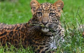 Picture grass, look, portrait, leopard, face, sitting, cub