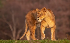 Picture look, nature, pose, background, walk, lioness, wild cat